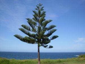 Сосна острова Норфолк