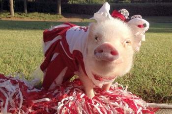 Желтая земляная свинья – символ 2019